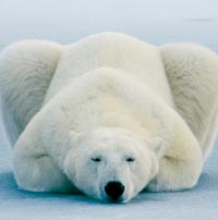 Очи в очи с полярните мечки